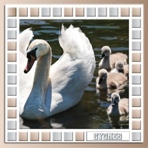 FAMILLE CYGNES